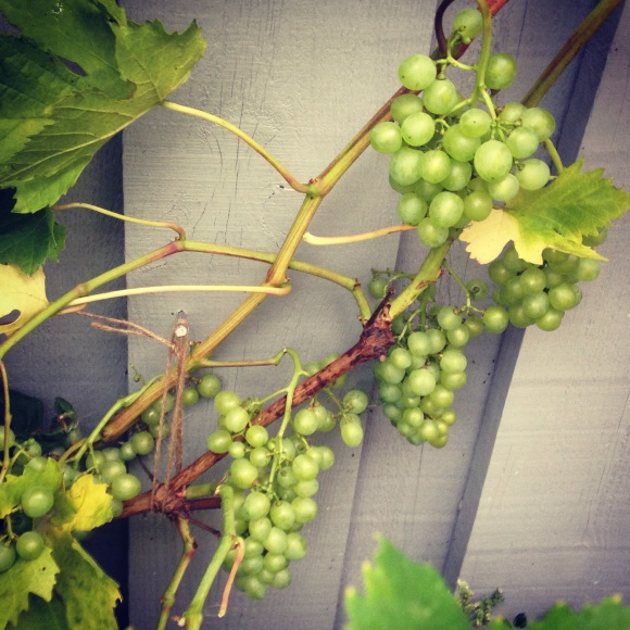 Vindruvsklasar